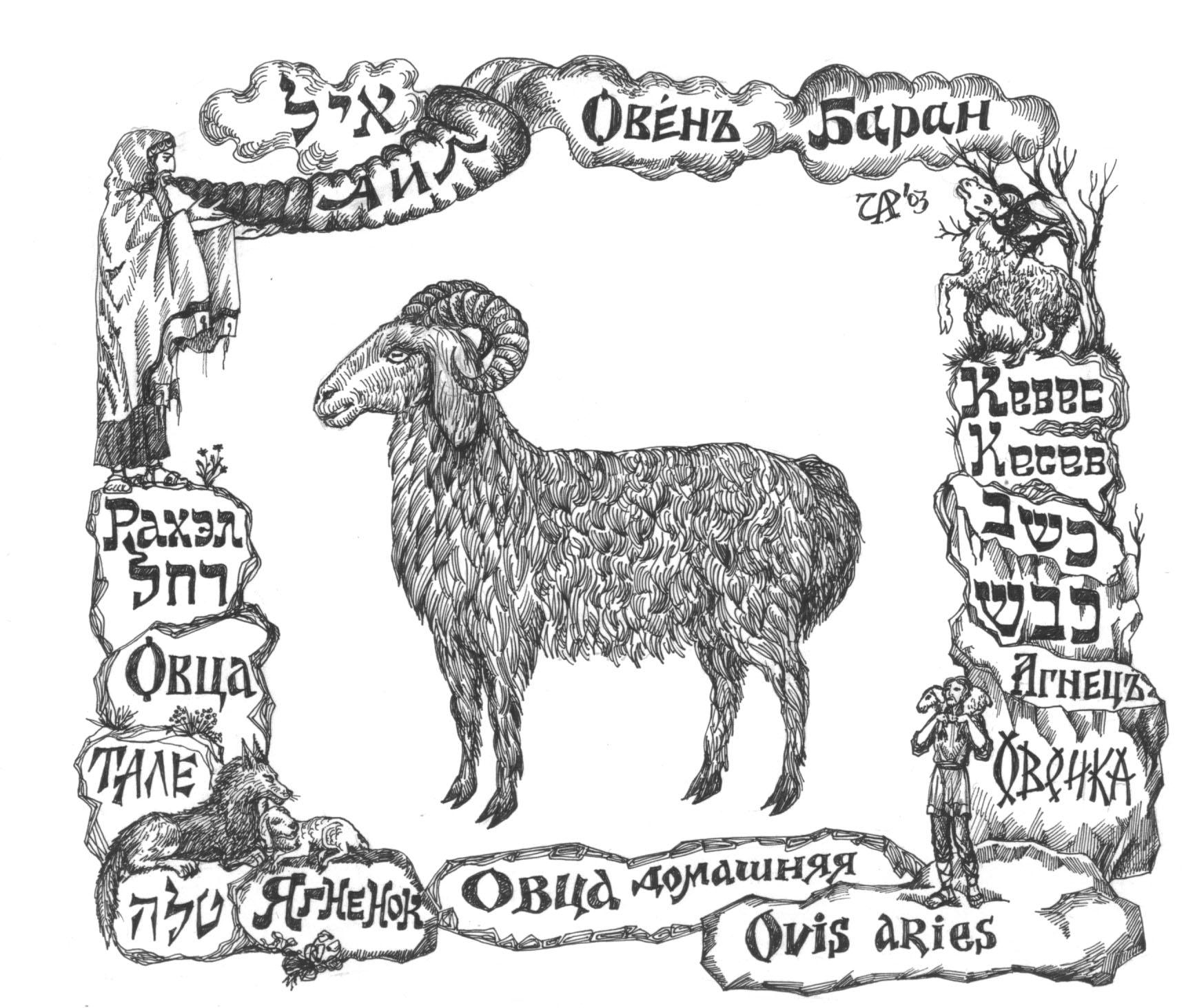 Кевес- овца. Рис. Иры Голуб