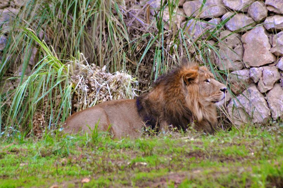 gali-dana singer-lions (31)