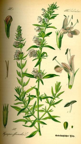 Иссоп. Иллюстрация 1885 г.